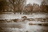 Due arieti cornuti su erba di gelo invernale — Foto Stock