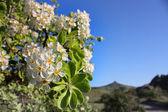 白色的花在克里米亚山脉 — 图库照片