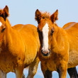 Stockfoto: Beautiful red horses taken in Italimountains