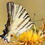 Beautiful Swallowtail Butterfly — Stock Photo #3727833
