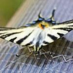 Beautiful Swallowtail Butterfly — Stock Photo #3727848