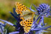 Fritillary amora (Boloria aquilonaris) — Fotografia Stock