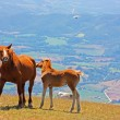 Red horses taken in the mountains - Stockfoto
