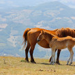 Red horses taken in the mountains - Foto de Stock  