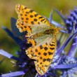 Cranberry Fritillary (Boloria aquilonaris) - Foto de Stock  