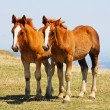 Beautiful red horses taken in Italy - Stockfoto