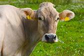 Funny white cow portret — Stock Photo