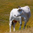 Cows grazing in ItaliApennines — Stockfoto #3781026