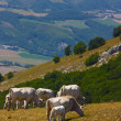 Cows grazing in the Italian Apennines - Stock Photo