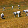 Stock Photo: Cows grazing in ItaliApennines