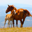 Red horses taken in the mountains — Stock Photo