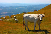 Cows grazing in the Italian Apennines — Stock Photo