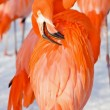 Stock Photo: Red flamingo portrait from zoo