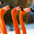 Red flamingo portrait from zoo — Stock Photo