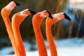 动物园的红色火烈鸟肖像 — 图库照片