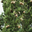 Cypress branch with cones - Stock Photo