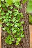 Close-up on Ginkgo Biloba tree — Stock Photo