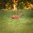 Roe doe — Stock Photo #3555634