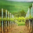 Landscape in Tuscany - vineyard - Stock Photo
