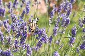 Hermosa perfumado campo violeta lila con mariposa — Foto de Stock