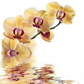 L Yellow Orchid — Stock Photo