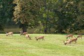 A herd of fallow deer — Stock Photo