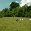 She goats on the pasture - Stok fotoğraf