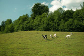 She goats on the pasture — Stock Photo