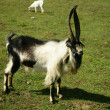 Bill goat on the pasture - Stock Photo