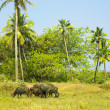 Herd of Asian buffaloes - Stock Photo