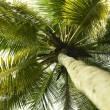 Palm tree with coconuts — Stock Photo