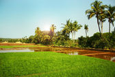 Landscape with flooded rice fields — Stock Photo