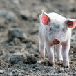 Stock Photo: Cute baby pig