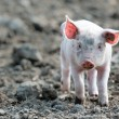 Cute baby pig — Stock Photo