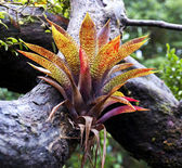 A bromelia growing on the side of a branch — Stock Photo