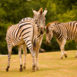 3 zebras - Stock Photo