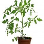 Tomato plant — Stock Photo #2882814