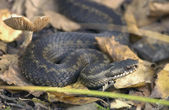 Snake Vipera berus — Stock Photo