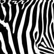 Zebra — Stock Vector #2842718