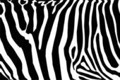 Zebra — Stock Vector