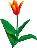 Tulip — Stock Vector