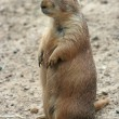 Cute prairie dog — Stock Photo