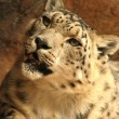 Stock Photo: Snow leopard