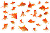 Fantail goldfish collage — Stock Photo