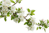 White apple blossoms — Foto de Stock