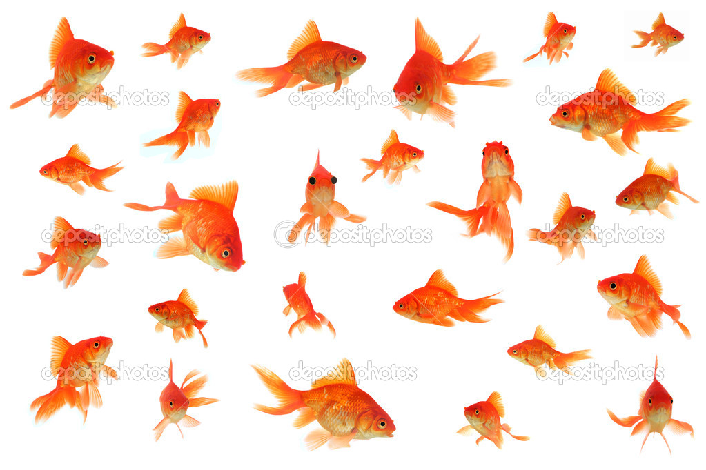 Fantail goldfish collage, with a comical one with bloated eyeballs in center — Stock Photo #2730573