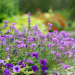Stock Photo: Purple flowers in garden