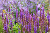 Purple salvia plants, shallow DOF — Stock Photo