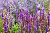 Purple salvia plants, shallow DOF — Stock Photo