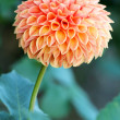 Perfectly formed peach colored dahlia flower in garden; — Stock fotografie